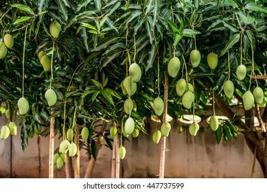 Mangoes on the tree,Fresh fruit