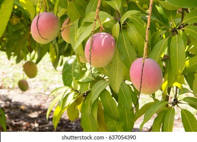 Mangoes ready for picking near Mareeba on the Atherton in Tropical North Queensland, Australia