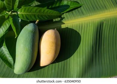 mango,Mango leaves