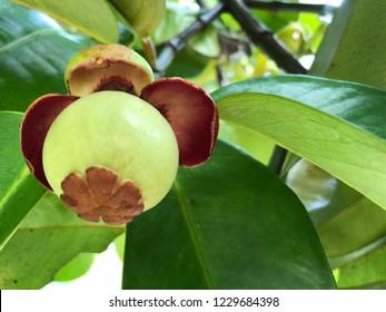 Mangosteen fruit on tree in Thailand garden.Mangosteen green on the tree