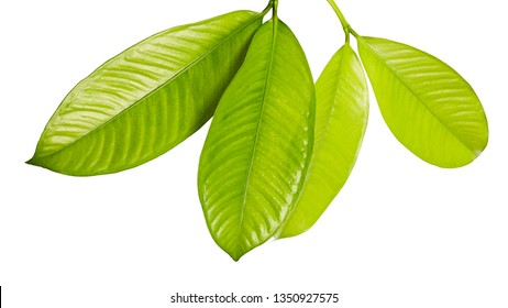 Mangosteen leaves, Tropical evergreen tree, Foliage of mangosteen isolated on white background