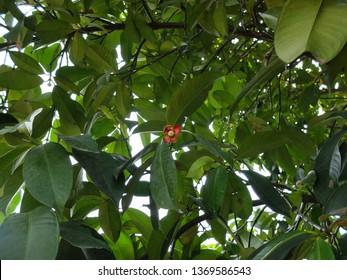 Mangosteen Tree Growth, Purple Mangosteen Plant Fruit, Mangosteen Fruit Trees.