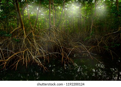 Mangrove in Caroni Swamp and the Bird Sanctuary, home to Trinidad and Tobago's Scarlet Ibis bird. Mistic forest landscape from Caribbean. Holiday in Central America. Light between the trees, Trinidad