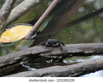 Mangrove crab on mangrove root.  Creature of Mangrove Forest in Thailand.
