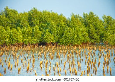 mangrove forest and Bamboo embroidered in the sea