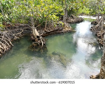 Mangrove forest with Crystal Clearwater in Krabi province, Thailand.