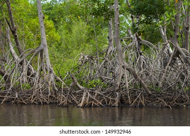 A mangrove forest and its distinctive root system