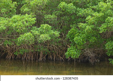 Mangrove forest edge on a waterway, with roots hanging down