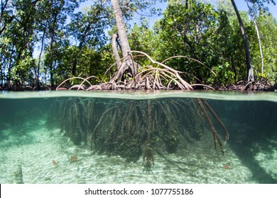 A mangrove forest grows on the edge of a remote island in Raja Ampat. This tropical region is known as the heart of the Coral Triangle due to its marine biodiversity.