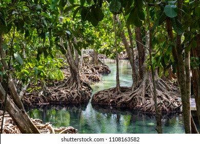Mangrove forest in Krabi province of Thailand