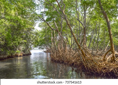 Mangrove forest National Park los Haitises Dominican Republic, river through mangrove forest with many mangrove trees