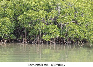 The mangrove forest in Okinawa