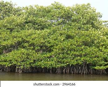 Mangrove Forest in Phu Quoc, Vietnam