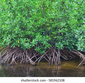 mangrove forest in row near river