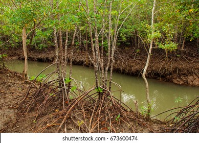 Mangrove Forest showing impressive roots groving into a marsh, Kalibo, Panay island, Philippines. Bakhawan eco-park