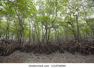 Mangrove forest in the south of the Boipeba Island, area of environmental preservation - Cairú, Bahia, Brazil