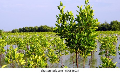 Mangrove forest in  tropical coastal. Mangroves are salt tolerant trees and are adapted to life in harsh coastal conditions.