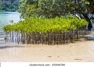 mangrove forest,forest at the river estuary