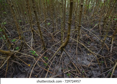 Mangrove forests and natural mangrove forests of Thailand. Red Mangrove.