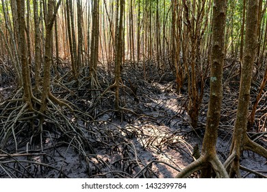 Mangrove forests are the trees that can tolerate saltwater. Mangroves are  impenetrable tangle their above and below water roots. Mangrove Trees are growing in Brackish water and covered   on mud.
