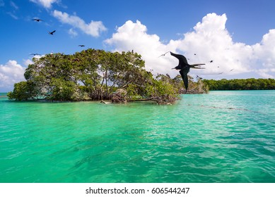 Mangrove and frigatebirds in the Caribbean Sea in the Sian Kaan Biosphere Reserve near Punta Allen, Mexico