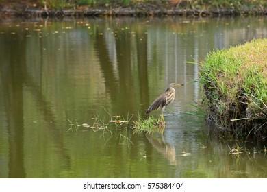 mangrove heron standing in the lake
