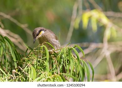 Mangrove Honeyeater bird perching on bottlebrush branch in forest, Western Australia (Gavicalis fasciogularis)