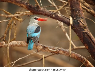 Mangrove Kingfisher Halcyon senegaloides perching on branch and looking for insects.
