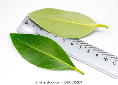 mangrove leaf ( avicennia alba ) isolated on white