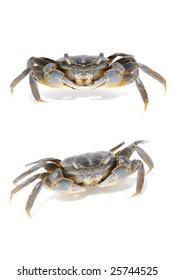 mangrove mud crab