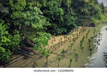 The mangrove offsprings