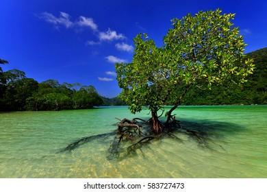 mangrove on the beach