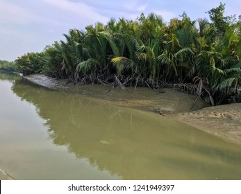 Mangrove Palm In Sundarban