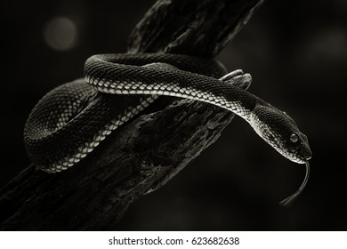Mangrove Pit Viper Stock Photos, Images & Photography