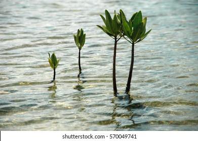 Mangrove Plants Growing