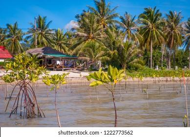 Mangrove plants growing at the coast in low tide, Koh Phangan, Thailand
