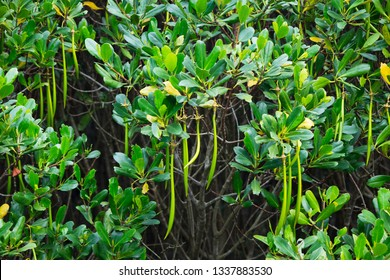 Mangrove plants (Kandelia candel) in the Mangrove reserve just outside city, Taipei, Taiwan