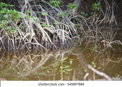 Mangrove prop roots with reflection.