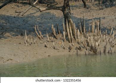 Mangrove respiratory roots - pneumatophores around the tree in Sundarban in India