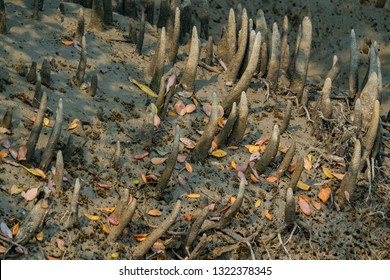 Mangrove respiratory roots - pneumatophores close up in Sundarban in India