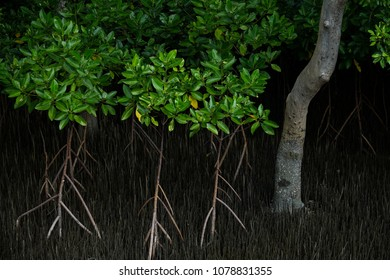 Mangrove root systems Rhizophora and Avicennia spp