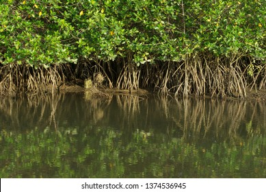 Mangrove roots exposed by low tide in Puerto Pizarro in Tumbes-PERU