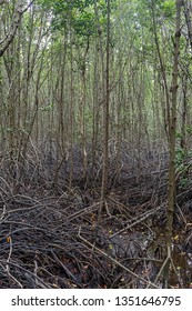 Mangrove roots . roots mangrove forest in rain forest. Forest of Mangroves or Golden Mangrove Field. Roots of mangrove forest when sea water run down.
