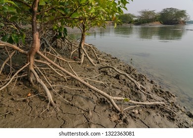 Mangrove Roots on the Mud Shore at Sundarbans in India
