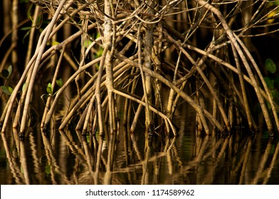 Mangrove roots - Reflection from the Avicennia schaueriana at the river in a Mangrove at Rio de Janeiro.