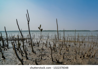 Mangrove Roots and Sprouts in Water in Sundarbans in India