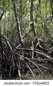 Mangrove. Sao Sebastiao. Brazil