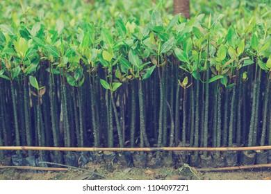 Mangrove seedlings for mangrove forest planting.