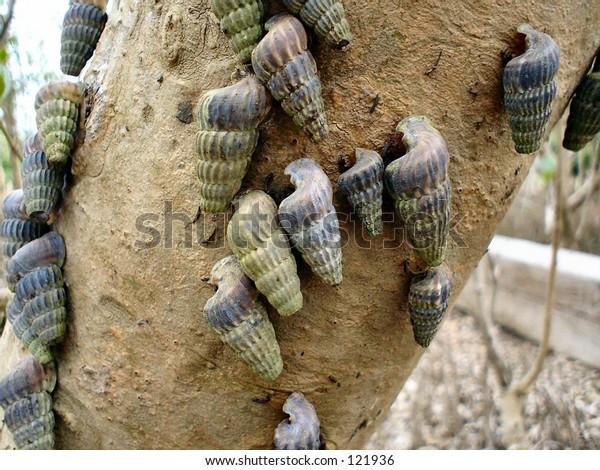 Mangrove snails