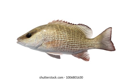 The mangrove snapper or gray snapper (Lutjanus griseus). Isolated on white background
